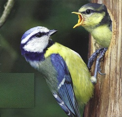 Blue Tits