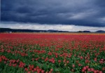 Pacific Northwest fields of tulips. H. Clark collection.